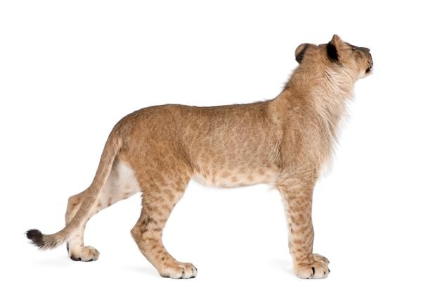 Vue latérale du jeune lionceau, panthera leo