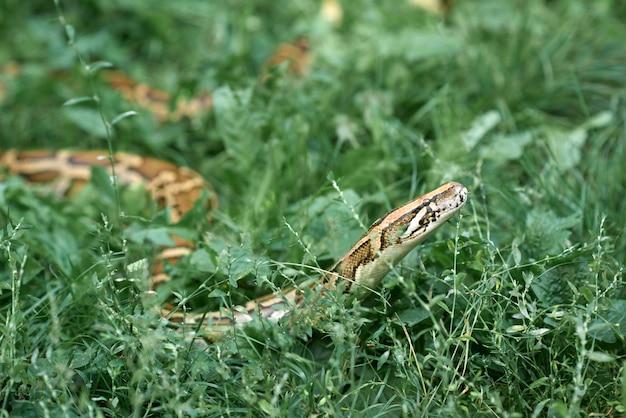 Vue latérale du long phyton couché dans l'herbe verte. serpent rampant dans le jardin.