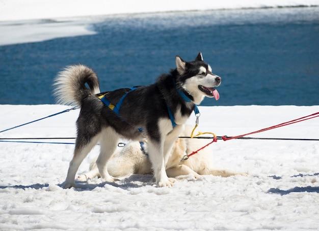 Vue latérale du repos et de rester husky en traîneau à chiens