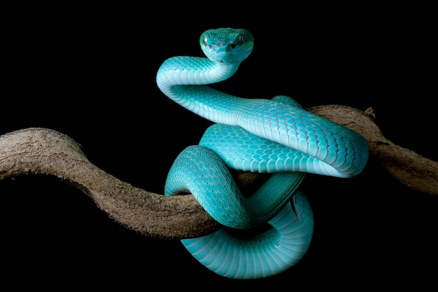Vue latérale du serpent vipère bleu sur une branche avec fond noir serpent viper bleu insularis trimeresuru
