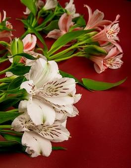 Vue latérale des fleurs d'alstroemeria de couleur rose et blanc isolé sur fond rouge