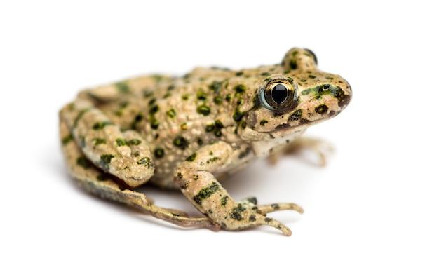Vue latérale d'une grenouille persil commun, pelodytes punctatus, isolated on white