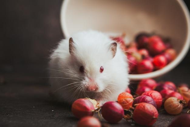 Vue latérale groseille dans un bol avec hamster mangeant des noisettes sur brun foncé.