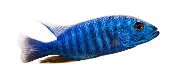 Vue latérale d'un hap bleu électrique, sciaenochromis ahli, isolé sur blanc