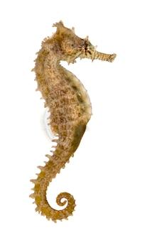 Vue latérale d'un hippocampe commun, hippocampus kuda, isolé sur blanc