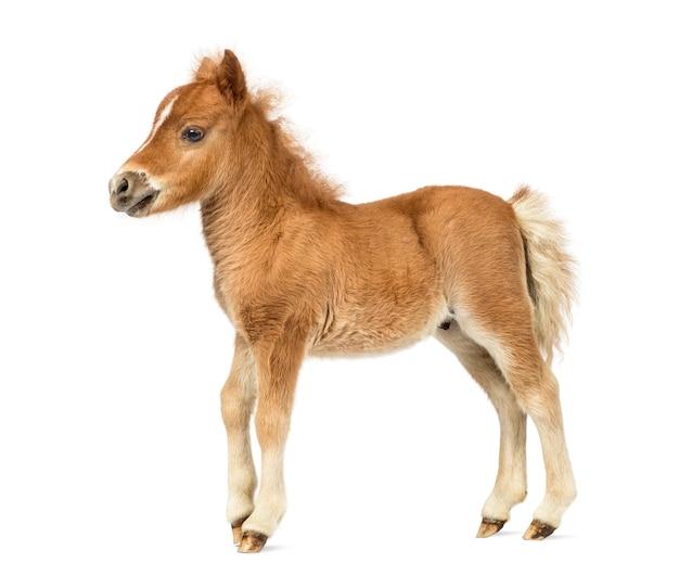 Vue latérale jeune poney, poulain contre fond blanc