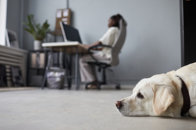 Vue latérale minimale portrait d'un gros chien blanc allongé sur le sol à l'intérieur du bureau avec des personnes travaillant en arrière-plan, espace de travail adapté aux animaux de compagnie, espace de copie