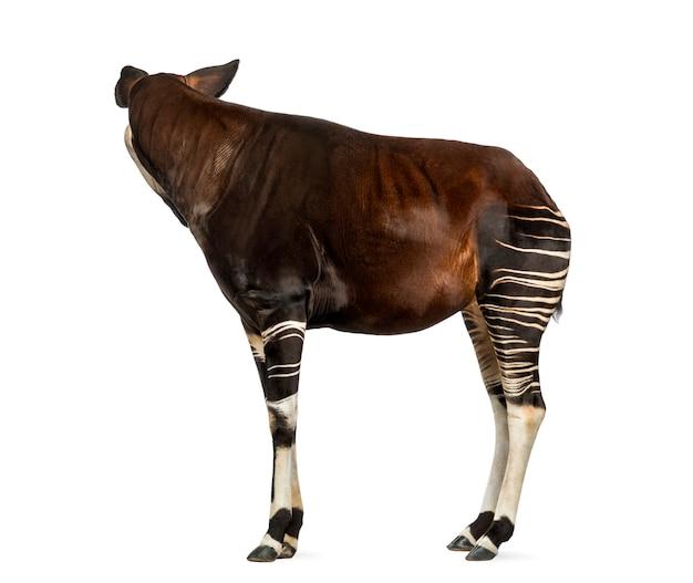 Vue latérale d'un okapi debout, regardant en arrière, okapia johnstoni, isolé sur blanc