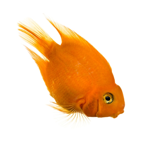 Vue latérale d'un poisson-perroquet regardant vers le bas isolé sur blanc