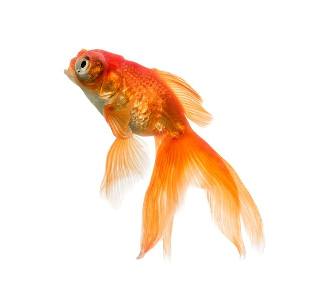Vue latérale d'un poisson rouge jusqu'à