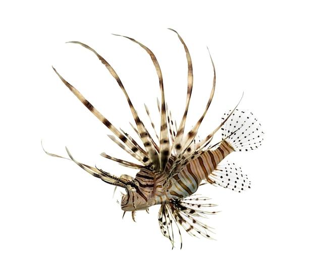 Vue latérale d'un pterois volitans ou poisson-papillon rouge regardant vers le bas
