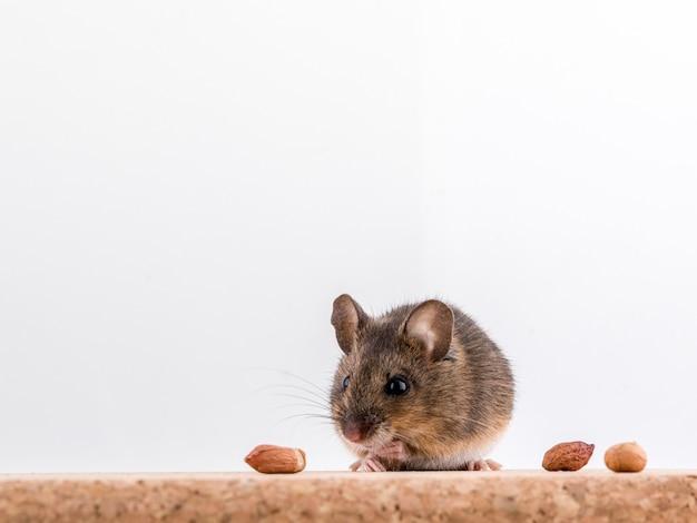 Vue latérale d'une souris en bois, apodemus sylvaticus, assis sur une brique de liège avec fond clair