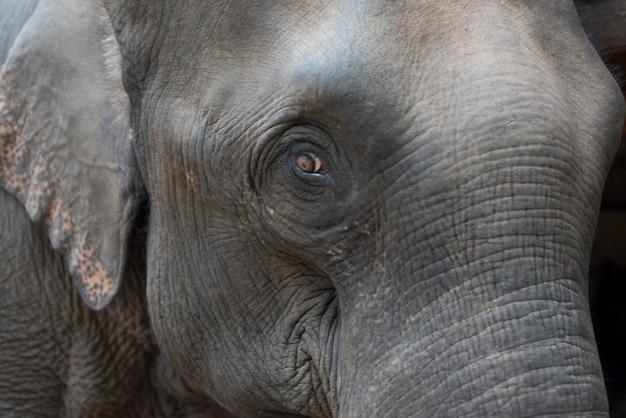 Vue latérale d'une tête d'éléphants, tad sae waterfall, luang prabang, laos