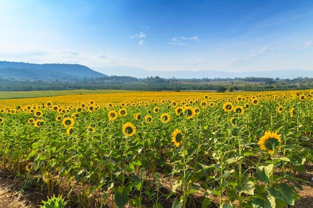 Vue magnifique sur le champ de tournesols sous un ciel bleu, paysage d'été nature