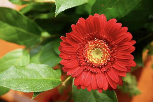 Vue de mise au point sélective d'une belle fleur de gerbera rouge avec un arrière-plan flou