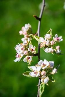 Vue de mise au point sélective gros plan d'une incroyable fleur de cerisier sous les rayons du soleil