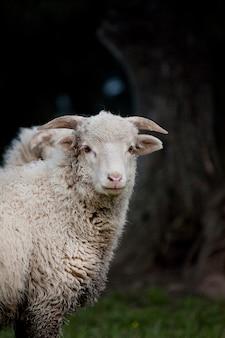 Vue d'un mouton curieux en regardant la caméra.