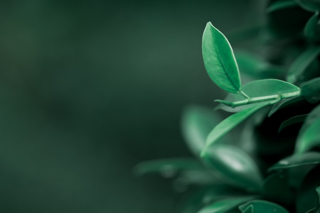 Vue de nature agrandi de feuille vert foncé avec espace de copie utilisant comme concept de fond