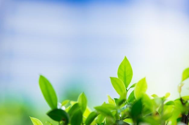 Vue de nature agrandi de feuille verte avec espace de copie utilisant comme concept de fond