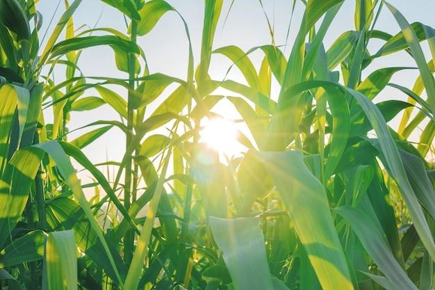 Vue nature rurale avec plantation de maïs