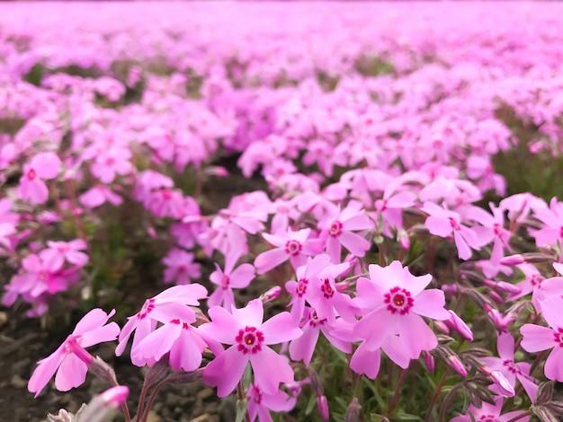 Vue naturelle de la belle mousse phlox rose