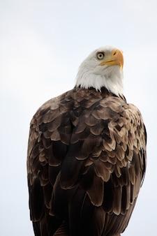 Vue d'un oiseau de proie américain pygargue à tête blanche au sommet d'une maison.