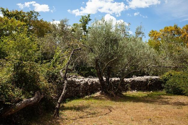 Vue sur oliveraie pendant la saison estivale