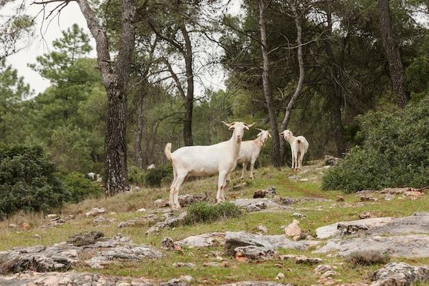 Vue panoramique des chèvres sauvages dans la nature