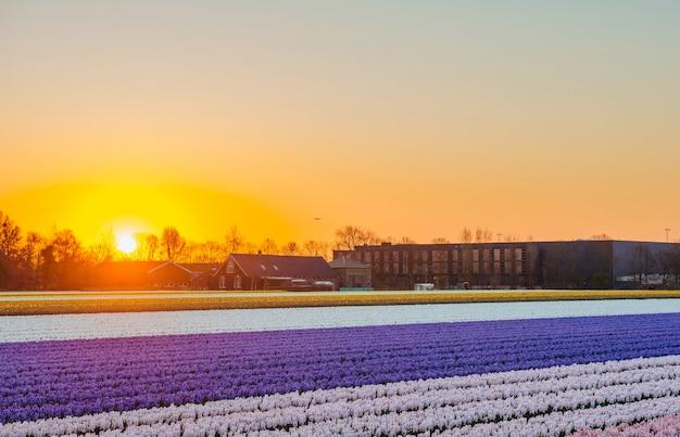 Vue panoramique du champ de jacinthe en hollande.