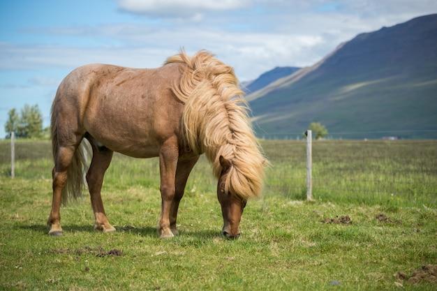 Vue panoramique du cheval islandais sur le pré