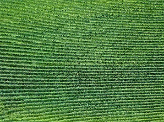 Vue panoramique du drone au champ vert naturel avec des cultures biologiques au coucher du soleil d'été. vue de dessus. texture de fond de plante