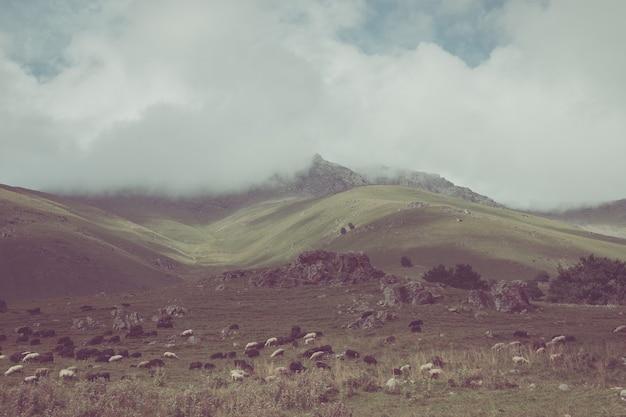 Vue panoramique du troupeau de moutons dans les montagnes du parc national dombay, caucase, russie. ciel bleu dramatique et paysage ensoleillé