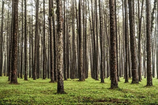 Vue panoramique à l'intérieur des conifères, une route à travers la forêt de pins