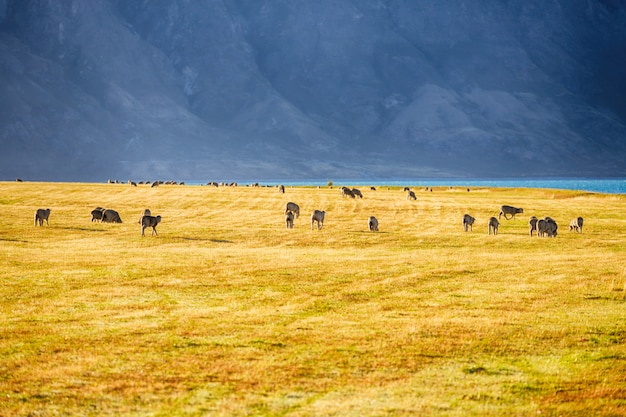 Vue panoramique, de, mouton, dans, île sud, nouvelle zélande