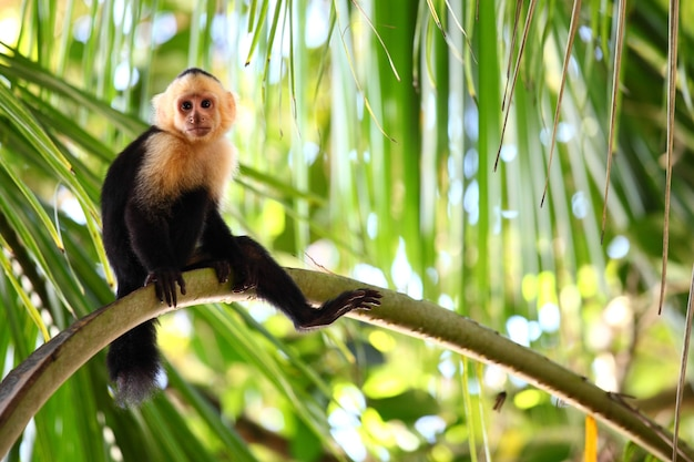 Vue panoramique d'un singe capucin assis paresseusement sur une longue branche de palmier