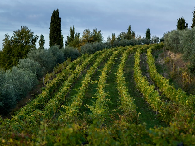 Vue panoramique, de, vignoble, toscane, italie