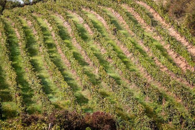 Vue panoramique des vignobles en roumanie