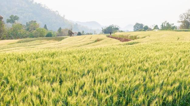 Vue de paysage agriculture sur le terrain d'orge