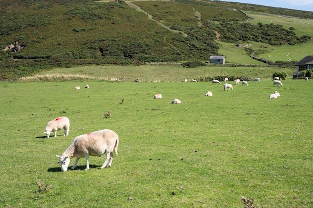 Vue de paysage d'un champ vert avec des moutons en pâturage.