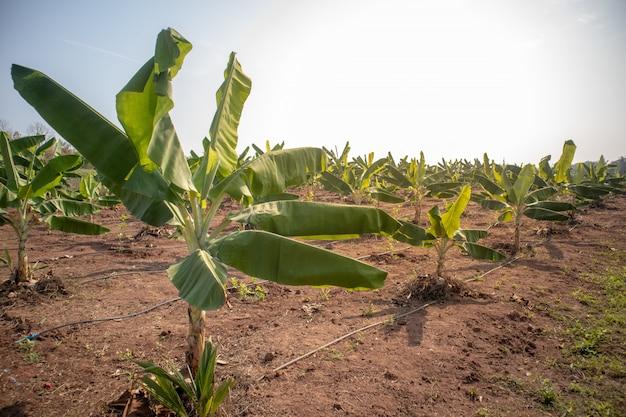 Vue de paysage de la ferme de bananes à la lumière du jour.
