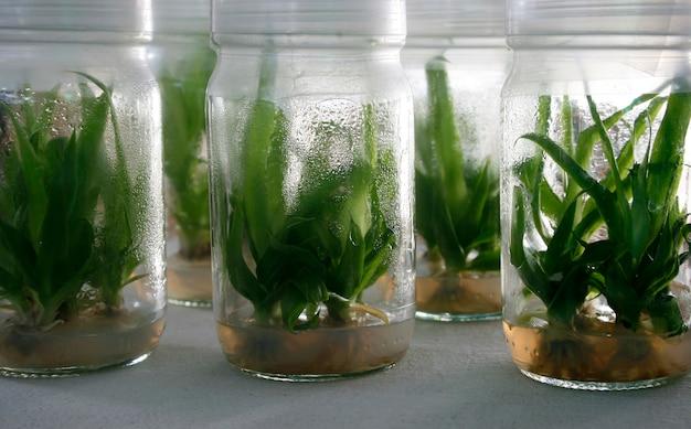 Vue sur de petites plantes de pomme de terre dans des tubes de laboratoire