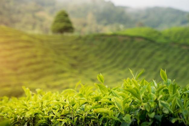 Vue de la plantation de thé au coucher du soleil / lever du soleil à cameron highlands, malaisie.