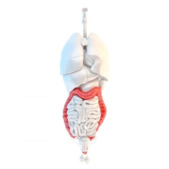 Vue de pleine longueur des organes internes masculins humains avec le gros intestin élevé