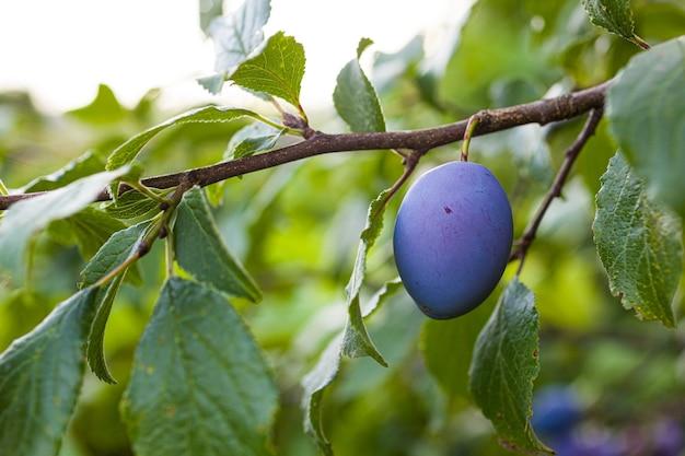 Vue sur les prunes mûres sur l'arbre dans le verger