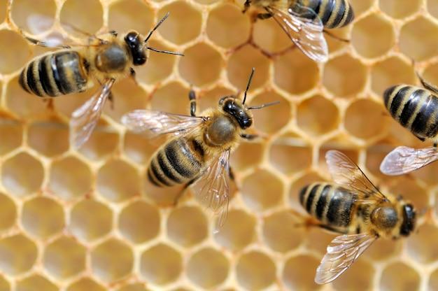 Vue rapprochée des abeilles qui travaillent sur des alvéoles