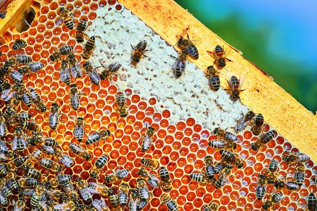Vue rapprochée des abeilles qui travaillent sur le nid d'abeilles avec du miel doux. le miel est l'apiculture des produits sains.