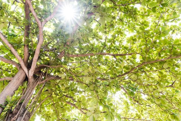 Vue rapprochée de l'ancien et du grand arbre, de la cime des arbres aux feuilles vertes