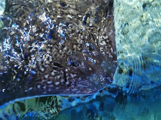 Vue rapprochée d'une belle nage stingray.