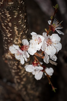 Vue rapprochée d'une branche de l'abricotier pendant la période de floraison printanière avec le tronc de l'arbre à la surface