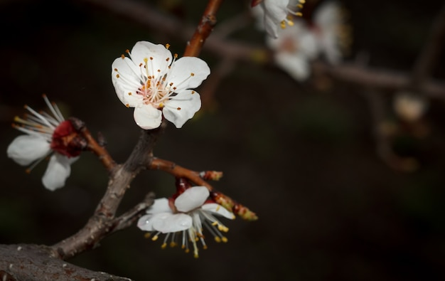 Vue rapprochée d'une branche de l'abricotier pendant la période de floraison printanière